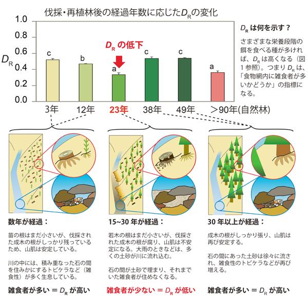 図3.スギ人工林の皆伐と再植林が、林内を流れる渓流の食物網に及ぼす影響。ここでは、DRへの影響のみを示す(H'およびDH、DVには、異なる経過年数の間での有意差はなかった)。上段には、伐採・再植林後の経過年数に応じたDRの変化を示す(アルファベットは異なる経過年数の間での有意差を示す)。下段には、経過年数に応じてDRが変化するメカニズムを示す。