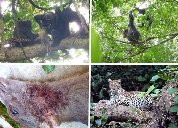 (左上)手に入れた獲物を食べるチンパンジー(右上)まだ近くにいるヒョウを警戒するチンパンジー (左下)獲物の喉にはヒョウの牙の跡が (右下)マハレには多くのヒョウが生息する