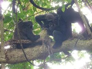 図2.手に入れた獲物を食べるチンパンジー