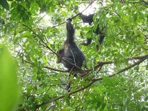 図4.まだ近くにいるヒョウを警戒するチンパンジー