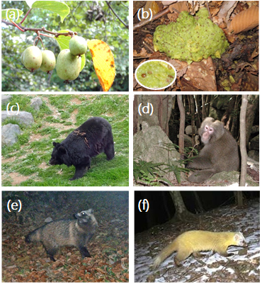 図2:(a)サルナシの果実、(b)ツキノワグマの糞に含まれるサルナシの種子、(c)ツキノワグマ、(d)ニホンザル、(e)タヌキ、(f)テン