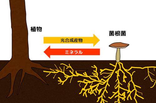 図1. 通常の菌根共生:光合成産物とミネラルをやり取りする相利共生