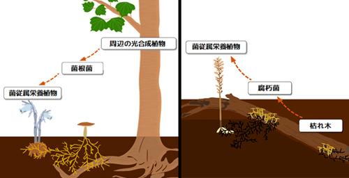 図5. 今回の研究で明らかになった2通りの菌従属栄養植物のライフスタイル