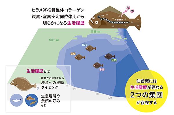 仙台湾のヒラメ脊椎骨論文