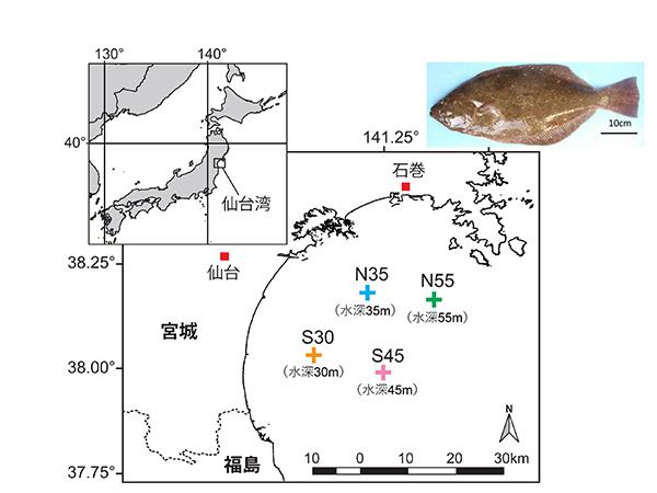 図1 仙台湾における調査地点(4地点)。右上はヒラメ成魚。