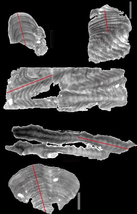 図1. 本研究に使用した造礁サンゴのエックス線写真